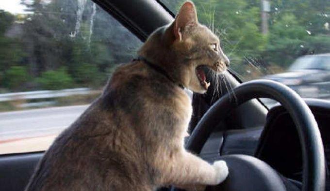 honking-cat